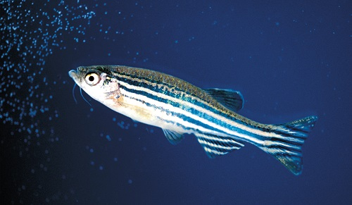 Zebrafish Husbandry Education